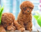 包健康纯种 精品泰迪犬 协议有保障 公母多只可选