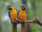 西安哪里有金刚鹦鹉卖,金刚鹦鹉养殖基地金刚好养吗,购买鹦鹉