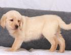 拉布拉多导盲犬 幼犬品质健康三年质保 签订协议