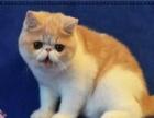 出售纯血统加菲猫DDMM包纯种健康 欢迎上门挑选