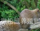 大量供应黄山松鼠优质种苗