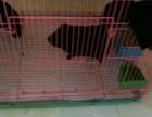 转让三只黑色可爱的荷兰猪