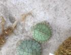 巴西忍者龟 大量批发