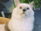 布偶猫找妈咪爹地
