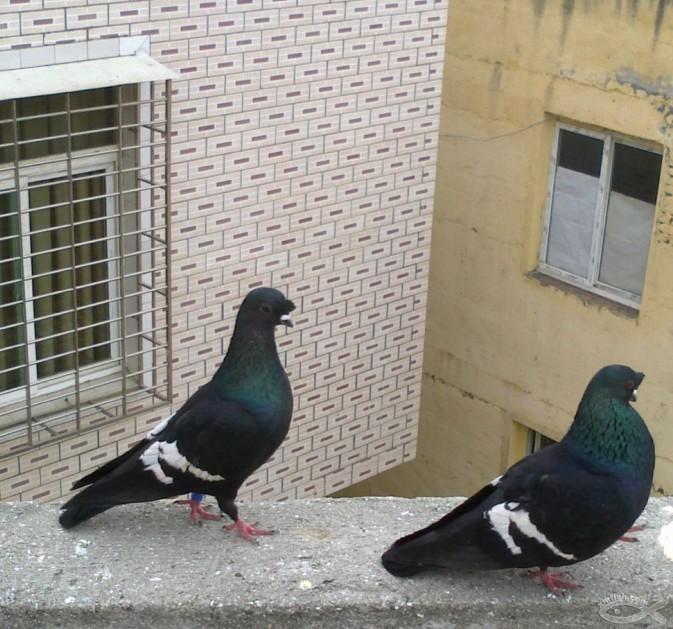哪里有黑色元宝鸽出售