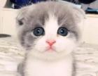 杭州猫舍出售纯种加菲猫 布偶 美短 英短 折耳猫可上门挑选