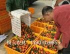 基地直供各类优质柑橘苗木 世纪红 沃柑 爱媛 脐橙 冰糖橙