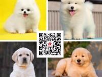 退伍兵犬舍专业繁殖高品质柯基柴犬拉多金毛等十多个品种的名犬
