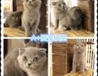 苏州本地猫舍繁殖出售猫咪,健康保障签协议品相极佳可以上门挑选