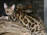 孟加拉豹猫 土豪的玩物 艺术品呀 实体店销售