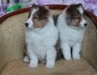 厦门本地出售世界各类名犬 支持上门看狗加微信有折扣