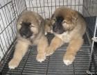 纯种雪纳瑞幼犬宝宝出售 品质可靠 疫苗齐全