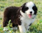 正规犬舍繁殖博美等名犬 健康保障签协议包活可送货