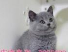 专业繁育的猫舍,所有猫咪如家庭成员般和我们生活在一