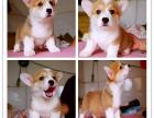 新年特惠柯基犬 两色三色柯基幼犬签质保包健康终身
