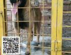 出售2~3个月的马犬幼犬