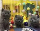南京本地猫舍出售英短蓝猫 蓝猫价格 大脸蓝猫可上门当面挑选