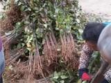 梨树原生苗哪里有卖的 0.5公分梨树原生苗批发