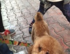 低价出售泰迪犬