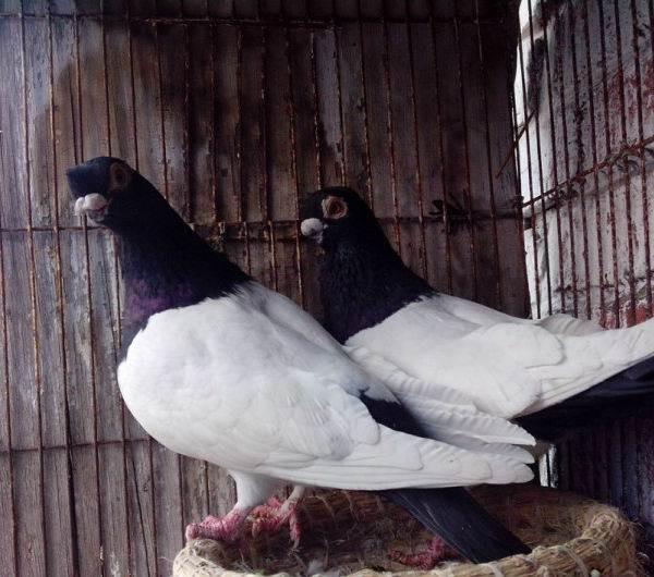 本厂长期出售优质种鸽 元宝鸽 特大元宝鸽 纯种白羽王鸽