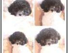 泰迪犬纯种可爱包健康包纯种出可签协议有保障包三月