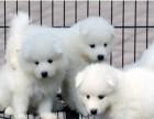 萨摩耶幼犬家养繁殖出售活体狗狗宠物