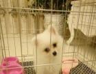 2个月的博美犬价格可优惠(公)