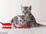 深圳哪里有卖虎斑小猫咪价格多少纯种美短短毛猫标准虎斑小猫价格