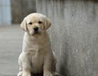 cku注册五星级犬舍 双血统拉布拉多可上门挑选