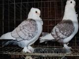 恩施本基地出售 各类元宝鸽 圆环鸽 摩登鸽 优质品种