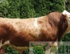 长期供良种肉牛、育肥牛、小肉牛犊、黑白花公牛