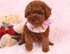 惠州狗场解散贵宾犬等二十多种宠物狗 300元 起售