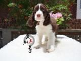 翼翔犬舍 专业繁殖高品质英国展示型史宾格犬