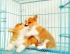 成都本地上门低价出售 纯种柯基犬 当面检查 包健康送用品
