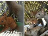 专业养殖场全年低价出售魔王松鼠,金花松鼠