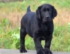 精心养殖 纯种拉布拉多犬 公母均有 包犬瘟细小