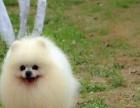 1个月的博美犬1200元(公母均有)