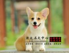 纯种健康柯基幼犬出售 可见幼犬父母 签署保证协议