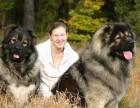 俄罗斯高加索幼犬 巨型高加索巡逻犬 100%包健康纯种