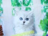 赛级长毛银渐层金吉拉猫品相好价格合理包售后终生咨询
