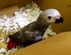 出售灰机鹦鹉 金刚鹦鹉 葵花鹦鹉 折中鹦鹉