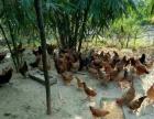 山泉农庄周末活动大优惠,内有香猪,土鸡,钓鱼等项目