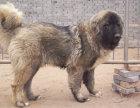 大型犬舍繁殖高品质高加索健康有保证欢迎上门