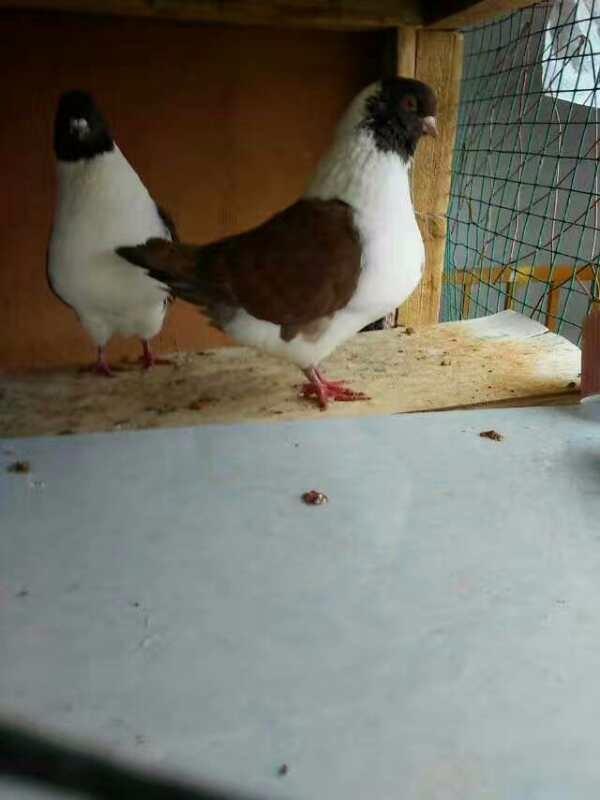 佛山精品摩登那鸽子多少钱一对