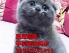 东莞哪里有卖纯种蓝猫价格包子脸蓝猫多少钱一只蓝猫好养吗蓝猫图