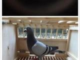 胡本系列种鸽幼鸽出售预定