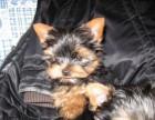 珠海哪有约克夏犬卖 珠海约克夏犬价格 珠海约克夏犬多少钱