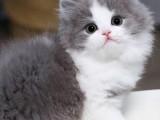 英短高地长毛猫宠物猫幼猫活体拿破仑