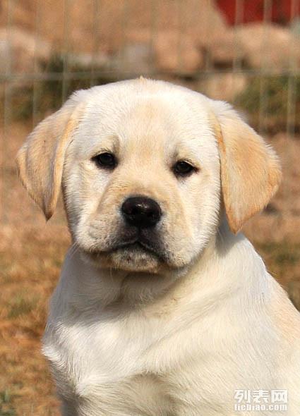 纯种高品质大头拉拉幼犬出售 签署活体协议 质保三年