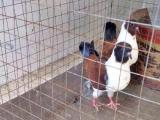 长期出售各种观赏鸽